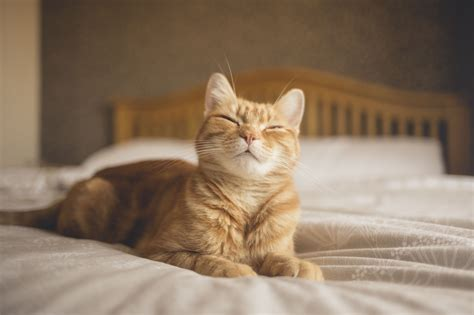 Why Does Cat On Bed cat kneading and treading behavior