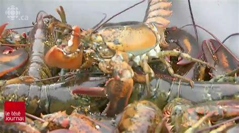 taille minimale chambre taille minimale de la carapace les p 234 cheurs de homard de