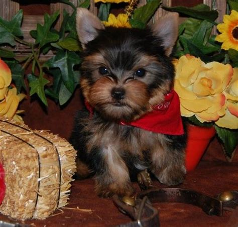 yorkie for sale seattle teacup terrier puppies for sale seattle dogs for sale puppies for