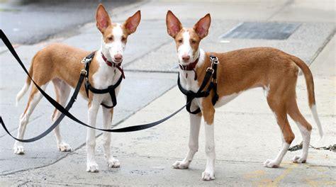 ibizan hound puppies ibizan hound info temperament diet puppies pictures
