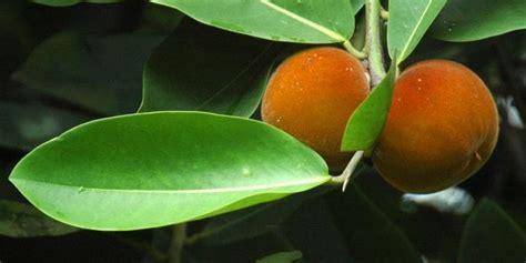khasiat menakjubkan  legitnya buah langka bisbul