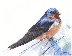 The Barn Bristol Barn Swallow Created Using Faber Castell Albrecht Durer