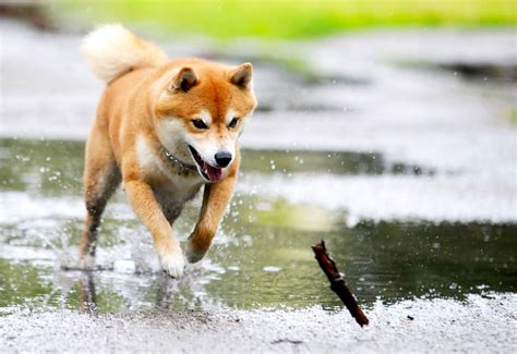 5 Things to Know About Shiba Inus   Petful