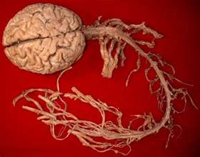 Brain And Spine Interesting Facts And Information About Human Brain