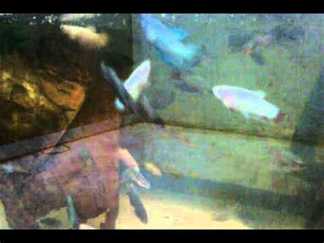 Pakan Ikan Louhan Burayak ikan lohan umur 1 th
