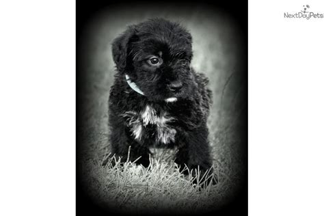 boxerdoodle puppies boxerdoodle puppy for sale near omaha council bluffs