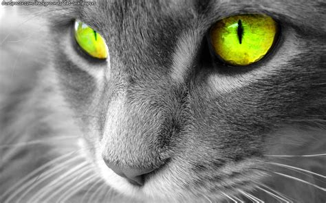 grey eyes wallpaper closeup of a grey cat with yellow eyes wallpapers and