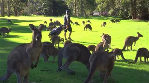 Bittersweet Kangaroo Middle Bag by Golfer S Finds Fairway In The Middle Of A Herd Of