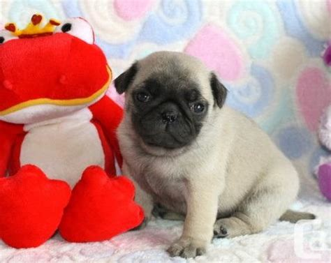 pug breeders edmonton litter ckc fawn and black pug puppies now available for sale in edmonton
