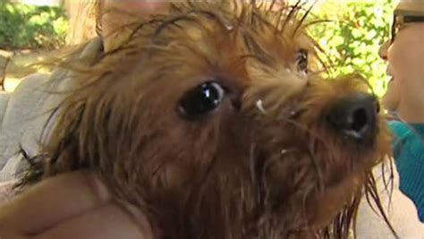 dallas yorkie rescue firefighters rescue yorkie from drain pipe