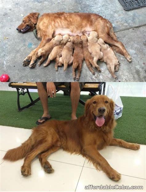 how much golden retriever in philippines sale golden retriever puppies philippines dogs in our photo