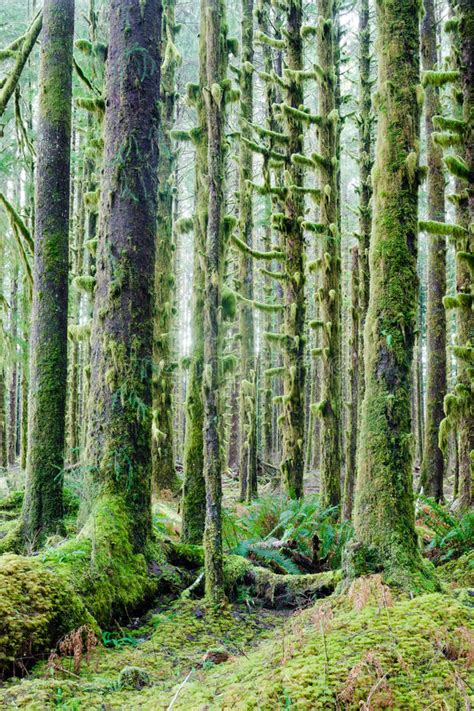 deep forest green cedar trees deep forest green moss covered growth hoh