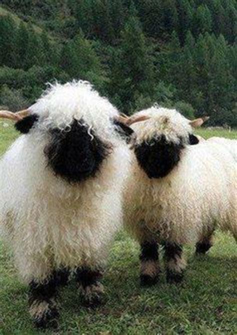 images  valais black nose sheep  pinterest