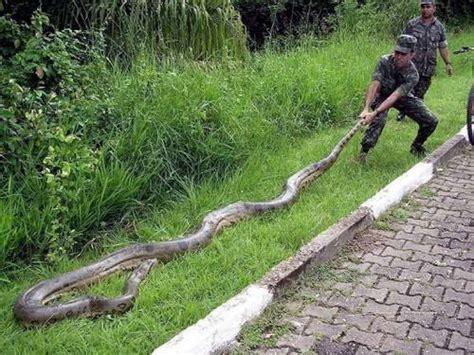 film anaconda di kalimantan ivanildosantos foto ular cobra terbesar di dunia