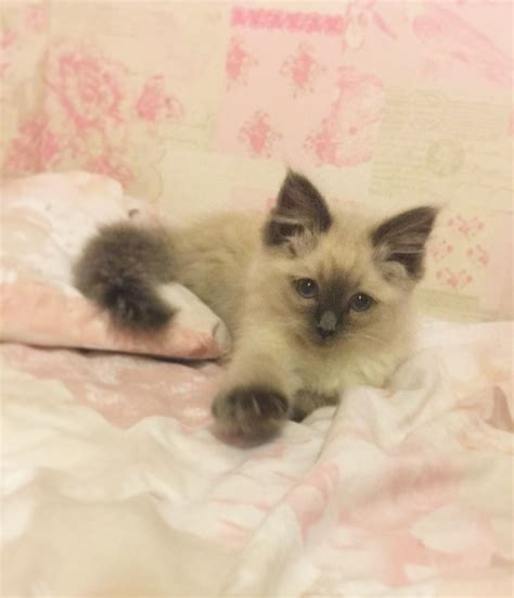 ragdoll cats for sale ragdoll kitten for sale warrington cheshire pets4homes