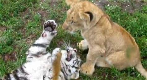 imagenes de tigres y leones juntos tiern 237 simo ver a un cachorro de tigre jugando con un