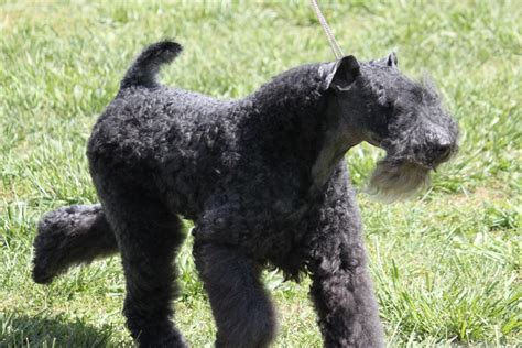 blue breeds schapendoes puppies