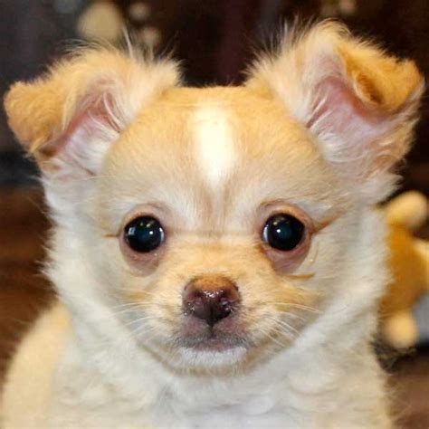 chihuahua puppy for sale chihuahua puppy for sale in boca raton south florida