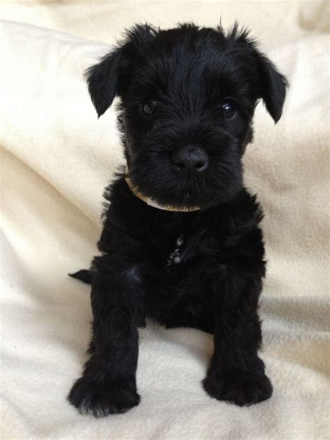 black miniature schnauzer puppies 1 gorgeous black boy kc miniature schnauzer puppy leigh on sea essex pets4homes