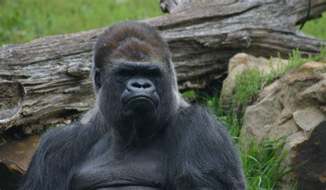 Western Lowland Gorillas - Facts, Diet & Habitat Information