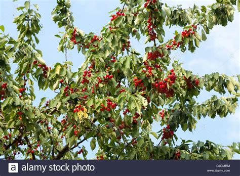 when i grow as as a cherry tree books fresh cherries growing on a cherry tree prunus avium