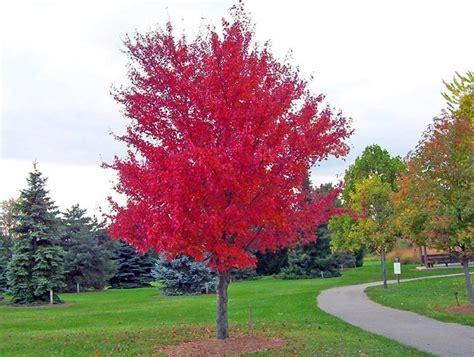 alberi da giardino sempreverdi a crescita rapida alberi a crescita rapida alberi
