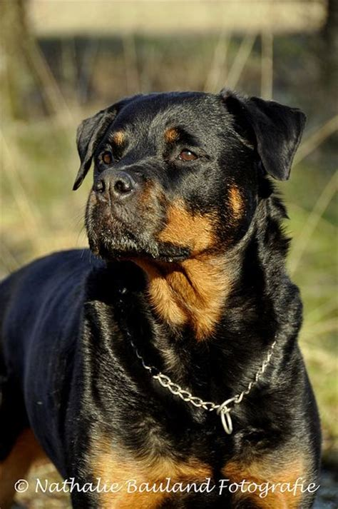 rottweiler teddy rottweilers guard and dogs on