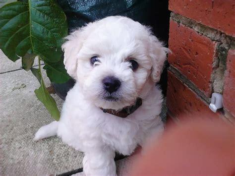 bichon frise puppies for sale bichon frise puppies for sale kc registered hartlepool