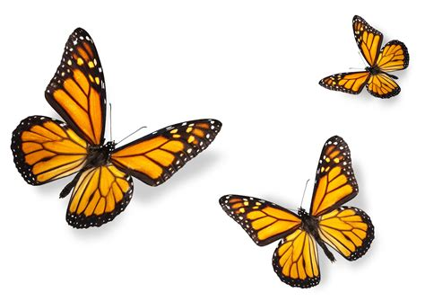 imagenes jpg mariposas www videoimagen es fotos de mariposas