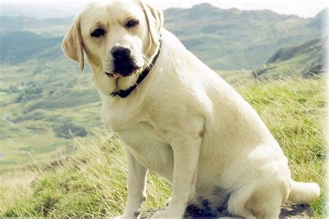 labrador or golden retriever best family dogs finding a friend in labrador retriever thehappypooch