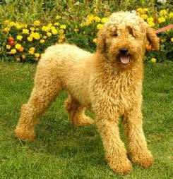 standard poodle hair styles standard poodle hair cut poodle grooming cuts pinterest