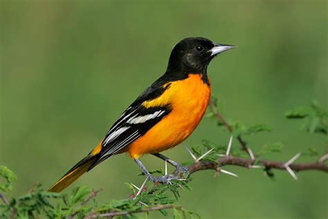 picture of a oriole bird baltimore oriole audubon field guide