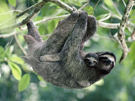 How Do Plants Adapt To The Tropical Rainforest - sloths on my blog sloth sloths two toed sloth three toed sloth quotes