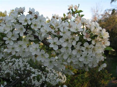 flowering cherry tree gardenblog2013