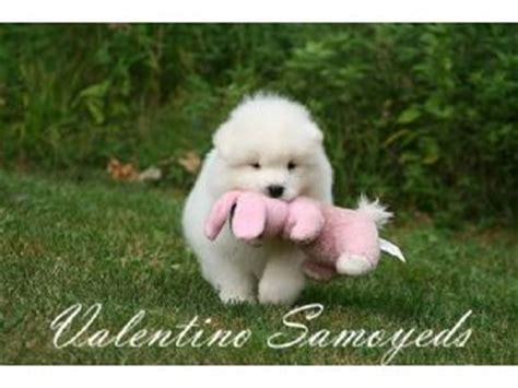 samoyed puppies for sale michigan samoyed puppies for sale