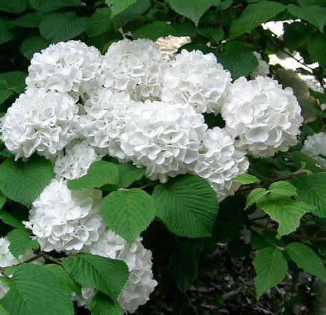 top 28 fashioned flowering shrubs snowmound spirea so old fashioned love it landscape