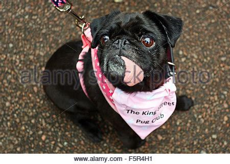 pug charity milton keynes uk 8th november 2015 ralph the pug wearing his stock photo