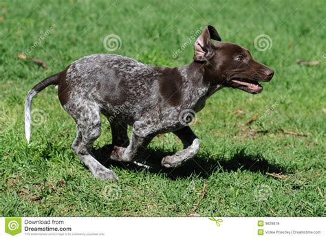 puppy zoomies puppy zoomie royalty free stock photos image 9828818