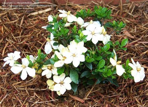 Gardenia Kleim S Hardy Pruning Plantfiles Pictures Gardenia Cape Gandharaj