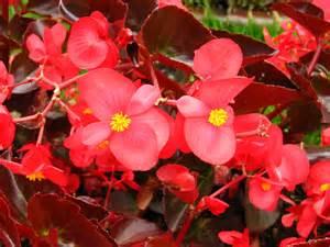 file begonia semperflorens red 01 jpg wikipedia