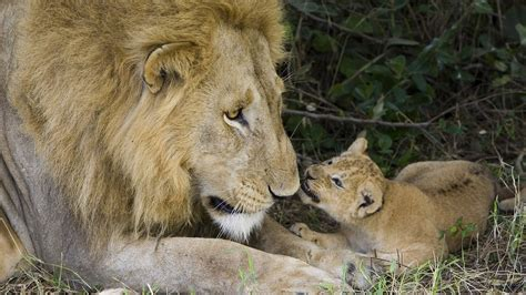 mother  father lion   young hd animals wallpapers