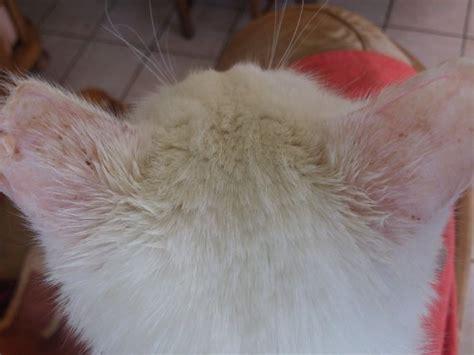 cancer des oreilles chat blanc m 233 decine v 233 t 233 rinaire