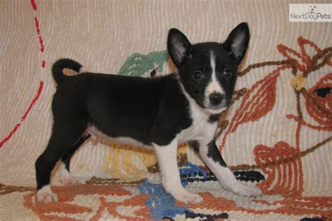 basenji puppy price range breeds basenji basenji royal canin breeds picture