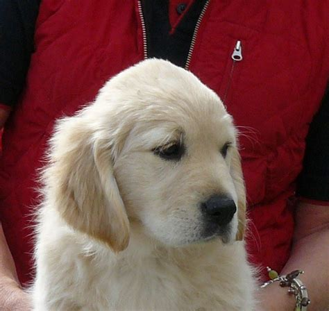 golden retriever puppies for sale adelaide golden retriever breeders adelaide dogs our friends photo