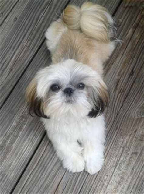 shih tzu pa 21 best images about puppy breeders on connecticut rhode island and for sale