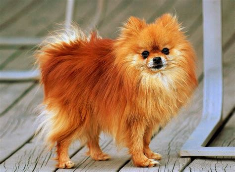 dogs 101 pomeranian dogs 101 pomeranians pomeranian dogfriends animal facts