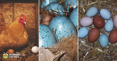 what color eggs do chickens lay chicken breeds that lay blue green pink white and
