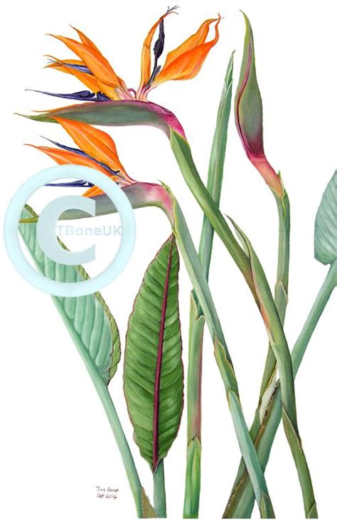 bird of paradise botanical illustration google search