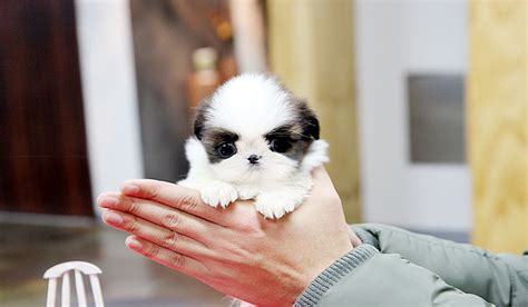 how do you say shih tzu the imperial and tea cup shih tzu shih tzu city