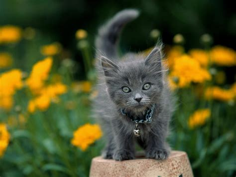grey kitten wallpaper free hq garden keeper gray kitten wallpaper free hq
